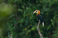 Blyth's Hornbill (Rhyiceros plicatus) male perched on a dead tree.