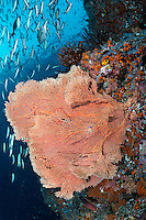 Fusiliers, Jacks, and Seafan on a reef wall<br /> <br /> Shot in Indonesia