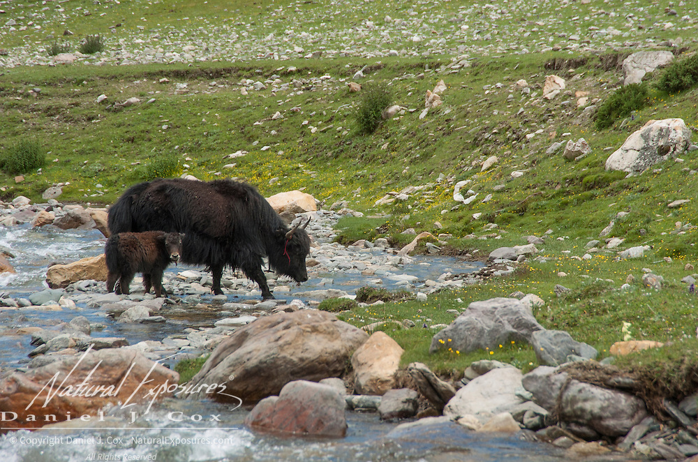 Yak mother and calf crossing a stream in the foothills of Tibet. Asia