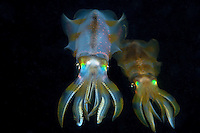 A pair of Reef Squid hover in the water column at night.<br /> <br /> Shot in Indonesia