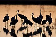 Sandhill Cranes, Grus canadensis, Bosque del Apache NWR, New Mexico