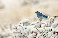 A male mountain bluebird braces himself against an early Spring snowstorm.  Wintering as far south as Mexico, these migratory songbirds return to the Greater Yellowstone area in mid-March when snow is still falling in the high country.