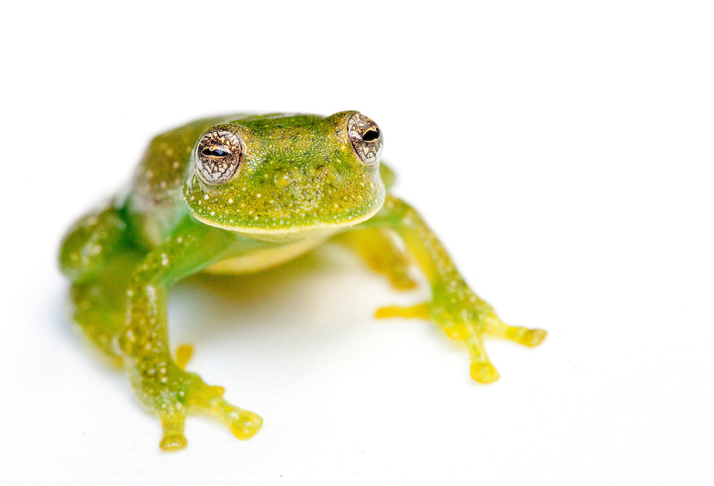 Giant glass frog, Centrolene antioquensis, from Antioquia in Colombia.