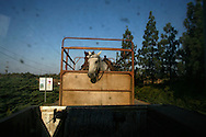 Horses of the cowboys from Moshav Yehonatan in the Golan height lift  on a truck to the pasture of the cattle next to Moshav Yehonatan in the Golan height Israel October, 07, 2007