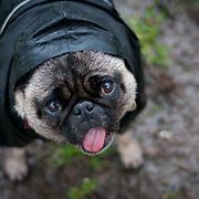 Boo the Pug standing in a rain coat.