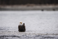 A bald eagle (Haliaeetus leucocephalus) looks for a salmon to drag ashore to feed on. The bald eagle is standing in the Chilkat River in the Alaska Chilkat Bald Eagle Preserve near Haines, Alaska. During late fall, bald eagles congregate along the Chilkat River to feed on salmon. This gathering of bald eagles in the Alaska Chilkat Bald Eagle Preserve is believed to be one of the largest gatherings of bald eagles in the world.