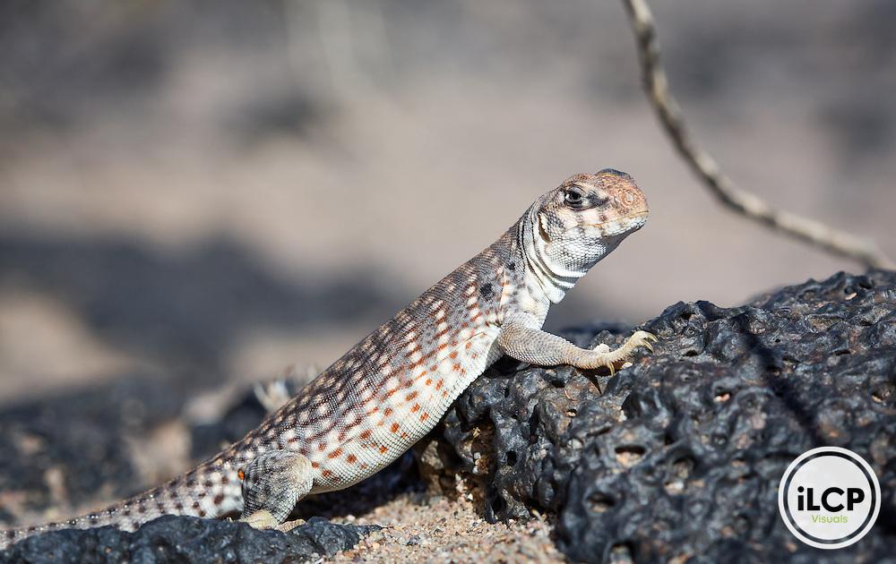 A desert iguana near Amboy Crater, Cadiz Valley area, California.
