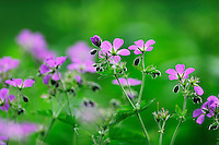 (Geranium sylvaticum), commonly called Wood Cranesbill or (in North America) Woodland Geranium, Ardennes, Luxembourg