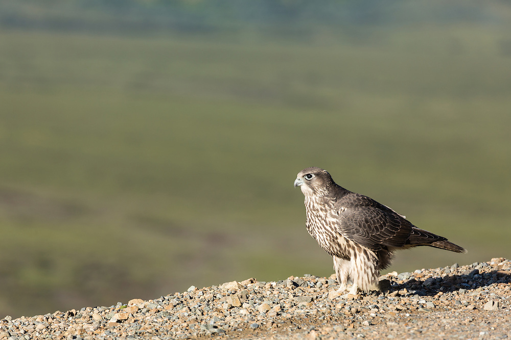 Juvenile Peregrine Falcon (Falco peregrinus) on Denali Park Road at Polychrome Overlook in Denali National Park in Southcentral Alaska. Summer. Morning.