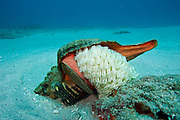 Horse Conch, Triplofusus giganteus, laying eggs on a coral reef offshore Palm Beach, Florida, United States.