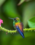 Copper-rumped Hummingbird (Saucerottia tobaci) perched, Trinidad.