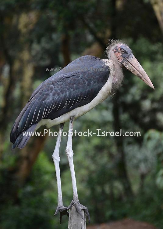 Kenya, Lake Nakuru National Park, Marabou Stork, (Leptoptilos crumeniferus),
