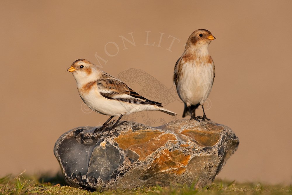 Snow Bunting (Plectrophenax nivalis) adults in winter plumage, Norfolk, UK