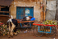a man sleeping on a food trolley in mysore, with a cow eating garbage