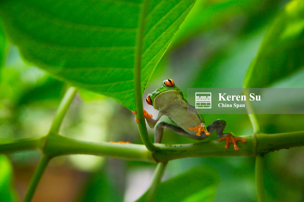 Red-eyed tree frog on green plant, Costa Rica
