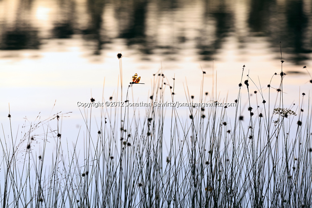 A dragonfly alights on grass stalks as the morning sun rises in the background on the lake at Long Pine Key campground in Everglades National Park, Florida. WATERMARKS WILL NOT APPEAR ON PRINTS OR LICENSED IMAGES.