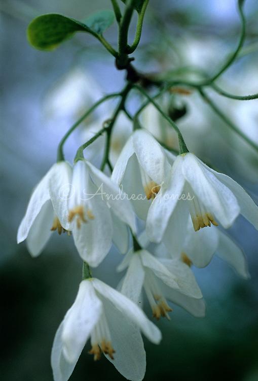 Halesia diptera var. magniflora<br /> Snowdrop Tree<br /> White flower