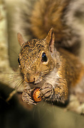 Gray squirrel eating acorn<br /> Sciurus carolinensis<br /> Florida backyard<br /> Maresa Pryor