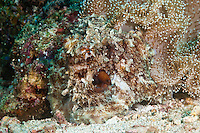 Reef octopus of capable of changing the texture and color of their skin allowing them to remain camouflaged wherever they are.  The Komodo National Park is home to the unique Komodo Dragon, but also has some remarkable marine life.  Cold upwellings from the Indian Ocean to the south bring plenty of nutrients, providing food for a spectacular array of different species.
