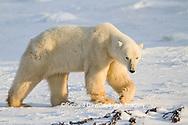 01874-13312 Polar Bear (Ursus maritimus) walking near Hudson Bay Churchill Wildlife Management Area Churchill MB