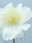 Paeonia lactiflora 'Lotus Queen' - peony