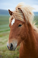 The Icelandic Horse in North Iceland.