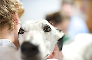 Greyhound Rescue Intake where volunteers bathe and groom them, ready for their foster families.
