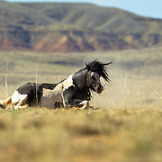 Mustang, Shakin' Off the Dust, Cody, Wyoming