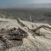 Cedros Island horned lizard (Phrynosoma cerroense)  Reserva Natural, Punto Mazo, Bahia de san Quintin, Baja California, Mexico