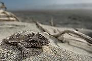 Blainville's (coast) horned lizard (Phrynosoma coronatum)  reserva Natural, Punto Mazo, Bahia de san Quintin, Baja California, Mexico