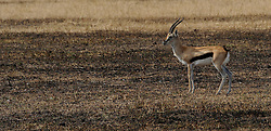 24-10-2008 REPORTAGE: KILIMANJARO CHALLENGE 2008: TANZANIA <br /> De dag van De Ngorongoro-krater, de grootste intakte caldera (ingestorte vulkaankegel) ter wereld. Hij bevindt zich ten noordwesten van Arusha in Tanzania / Wild, dieren, Natuur, vogels, Gazellen<br /> ©2008-FotoHoogendoorn.nl