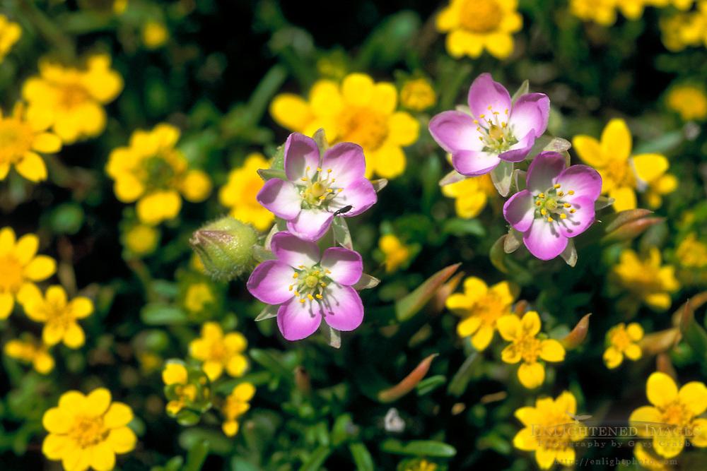 Wildflowers in spring, Frazer Point, Santa Cruz Island, Channel Islands, California