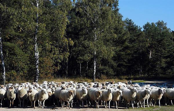 Nederland, Nijmegen, 16-10-2003..In de bossen tussen Nijmegen en Malden loopt een schaapskudde. De schapen begrazen de openplekken, halen het gras weg, om de hei de ruimte te geven, en het gebied op een natuurlijke manier te onderhouden. Een schaapshond houdt de dieren bij elkaar. Milieu, bosbeheer, natuurbeheer...Foto: Flip Franssen/Hollandse Hoogte..
