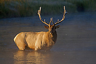 In Yellowstone Park, dominant bull elk have been known to amass as many as 50 elk cows into harems during the autumn rut. This young bull will be kept busy trying to maintain a harem once the rut commences.