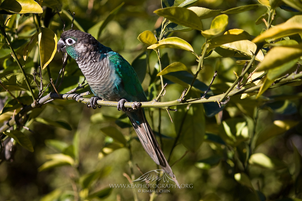 Turquoise Green Cheek Conure