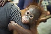 Bornean Orangutan<br /> Pongo pygmaeus<br /> Infant holding on to caretaker<br /> Orangutan Care Center, Borneo, Indonesia