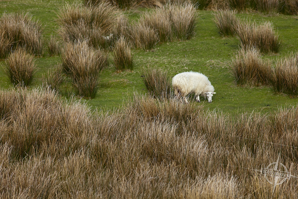 A sheep grazing in a field.