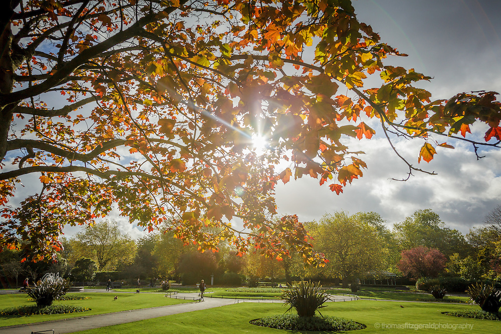 Sunlight shining through a canopy of red autumn leaves in this park setting. Editorial Only