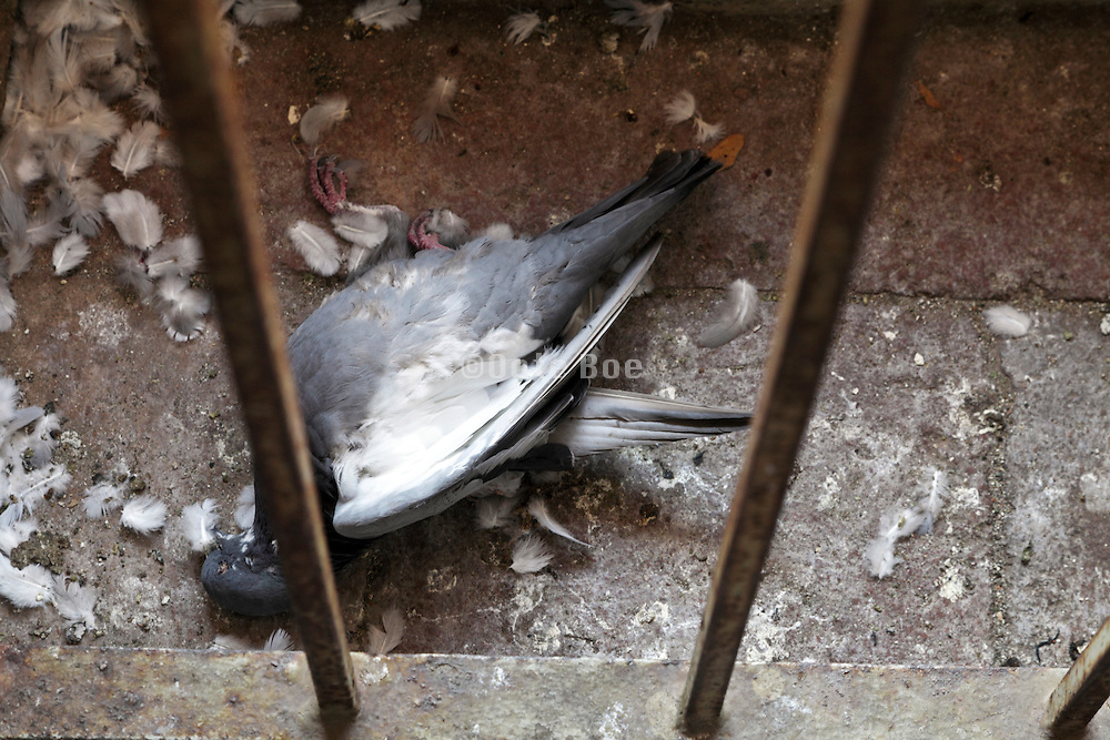 close up of a dead pigeon in a church tower