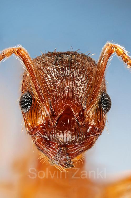 [Digital focus stacking] Die Rote Gartenameise (Myrmica rubra), auch Rotgelbe Knotenameise genannt, gehört zu den in Mitteleuropa am weitesten verbreiteten Ameisenarten