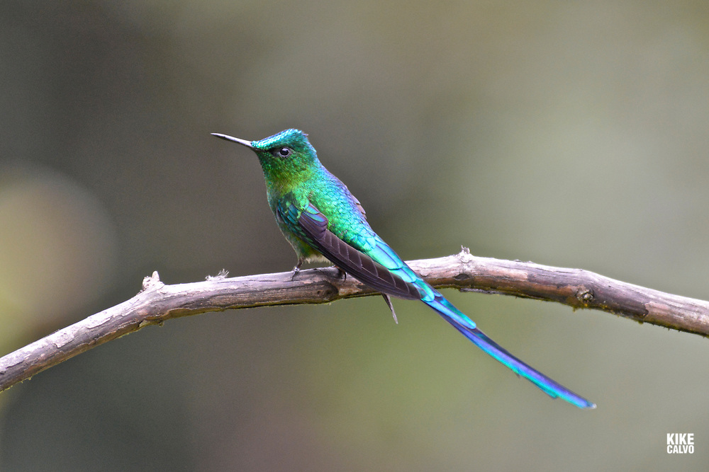 Long-tailed sylph ( Aglaiocercus kingii ),  tropical moist montane forest.