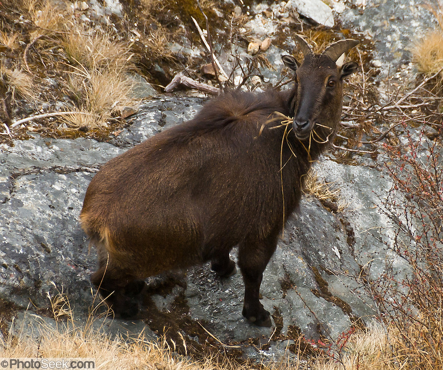 The Himalayan tahr is an even-toed ungulate, a near-true goat, commonly seen here between Phortse and Pangboche in Sagarmatha National Park, in the Khumbu district of Nepal. Sagarmatha National Park was created in 1976 and honored as a UNESCO World Heritage Site in 1979.