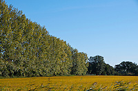 Line of poplars and a golden rice field in the Camargue, France on a beautiful sunny day.