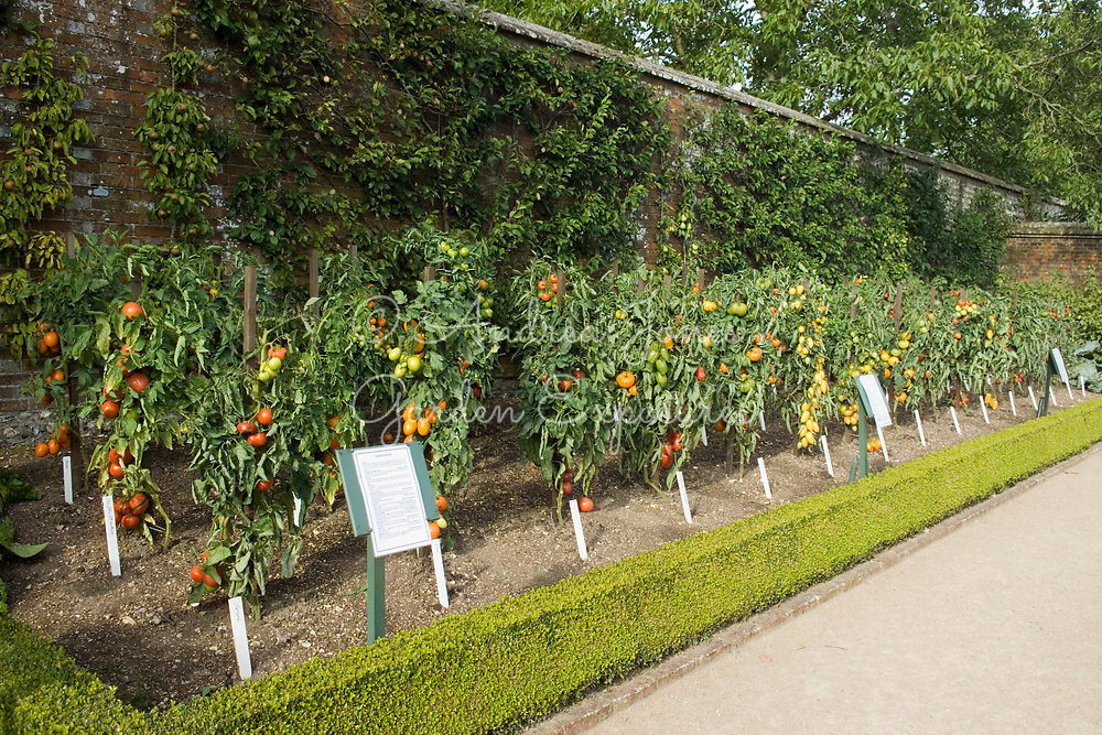 Rows of tomato varieties trained on wooden posts in the Vegetable Garden at West DEan Gardens, West Sussex, England