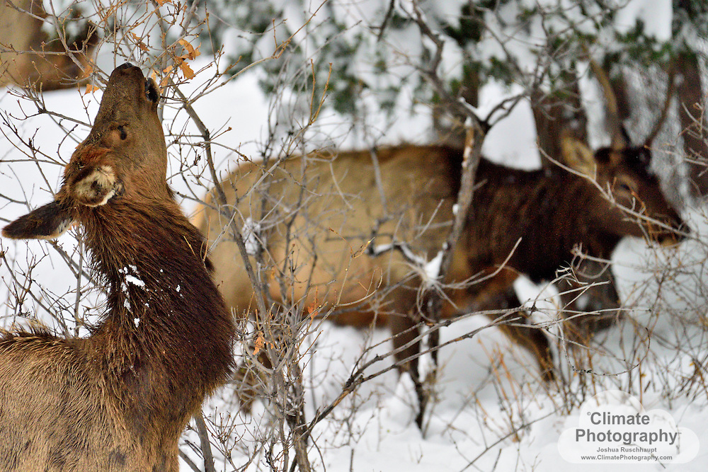 Elk find their way through the last major winter storm in April, 2016.