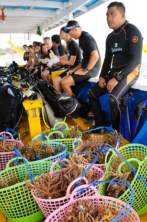 Newly collected coral fragments onboard a dive boat, Gili Trawangan, Lombok, Indonesia.  The fragments are collected by divers from a damaged reef and immediately transplanted onto new Biorock structures.