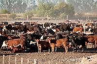 NOVILLOS EN UN FEED LOT, CARMEN DE ARECO, PROVINCIA DE BUENOS AIRES, ARGENTINA
