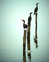 Three Double-crested Comorants on Posts at Merritt Island National Wildlife Refuge in Florida. Image taken with a Nikon D3s and 400 mm f/2.8 lens (ISO 200, 400 mm, f/5.6, 1/1000 sec)