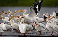 JEROME A. POLLOS/Press..A flock of pelicans perch on logs in Cougar Bay on Tuesday. The birds typically migrate through Idaho during the spring and fall, but the birds are a bit behind schedule according to the Idaho Fish & Game Department. About 60 pelicans have been spotted in the flock.