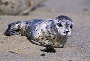 Harbor Seal <br /> Phoca vitulina<br /> A young pup (less than 1 wk. old)<br /> Monterey Bay, CA, USA